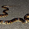 ヘビ類 アカマタ