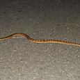 ヘビ類 クサリヘビ科 サキシマハブ