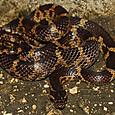 ヘビ類 サキシママダラ