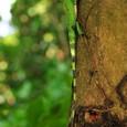 トカゲ類 キノボリトカゲ