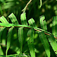 トカゲ類 アオカナヘビ♀