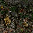 ヘビ類 クサリヘビ科 ハブ
