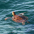 ウミガメ類 アオウミガメ(赤茶色型)