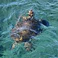 ウミガメ類 アオウミガメ(褐色型)