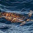 ウミガメ類 アオウミガメ(茶褐色型)