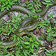 ヘビ類 リュウキュウアオヘビ