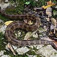 ヘビ類 クサリヘビ科 ヒメハブ