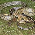 ヘビ類 サキシマスジオ