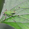 キリギリス亜目キリギリス科ツユムシ属 アカアシチビツユムシ♂幼虫